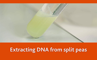 Extracting DNA from split peas