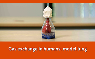 Gas exchange in humans: model lung