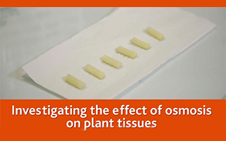 Investigating the effects of osmosis on plant tissues