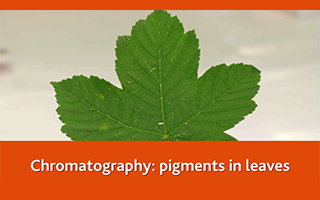 Chromatography: pigments in leaves