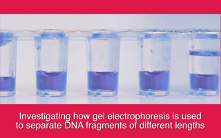 Investigating how gel electrophoresis is used to separate DNA fragments of different lengths