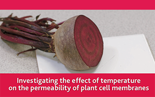Investigating the effect of temperature on the permeability of plant cell membranes