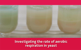 Investigating the rate of aerobic respiration in yeast